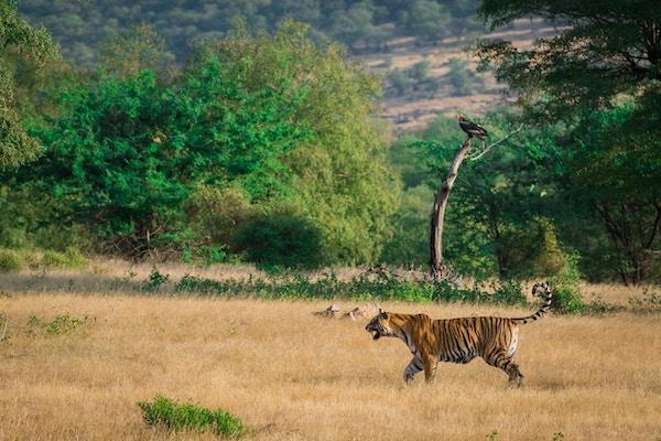 En vakker tiger og en gribb i en vakker grønn bakgrunn i Ranthmbore nasjonalpark, India