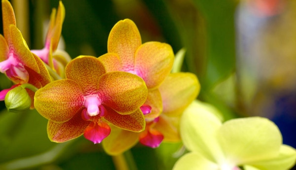Vakker Orkidé i Colombia.
