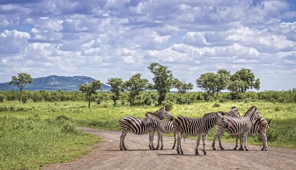 Sebraer på savannen i Kruger nasjonalpark, Sør-Afrika.