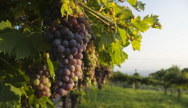 Corvina Veronese druer på en vingård i Valpolicella-området nord for Verona i Italia belyst av varmt sollys