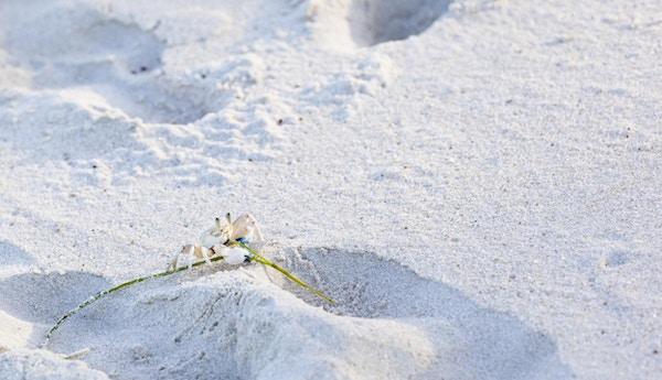 En liten krabbe i den hvite sanden ved Diani Beach, Kenya