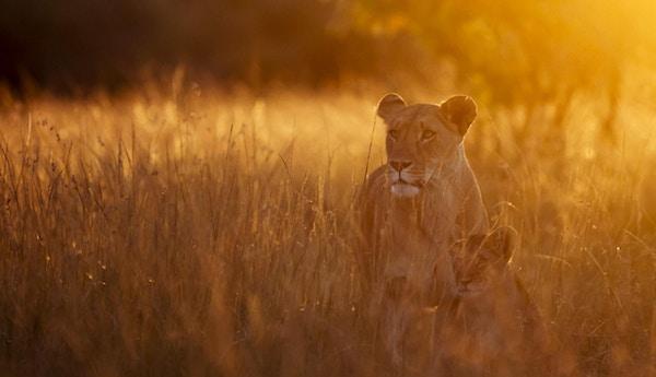 Løvinne og hennes unge som vandrer mot kamera med mykt morgenlys i bakgrunnen