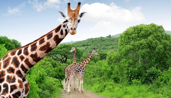 Giraffer i Kruger Nasjonalpark, Sør-Afrika