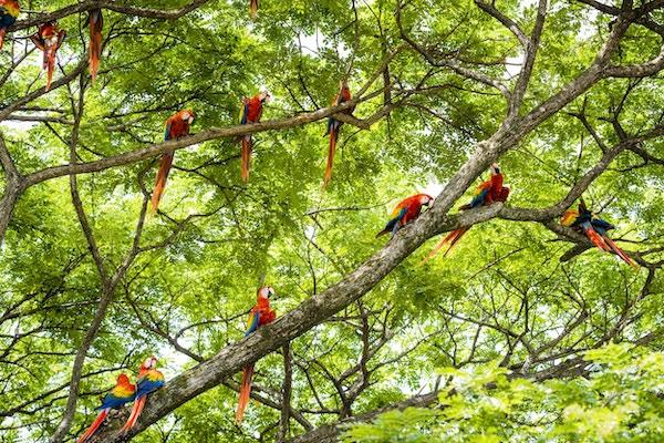 En flokk med skarlagensrøde araer, Ara macao, i et tre. Bildet er tatt i Guanacaste, Costa Rica