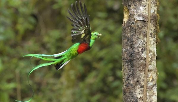 Quetzal i fri utfoldelse i Costa Rica.