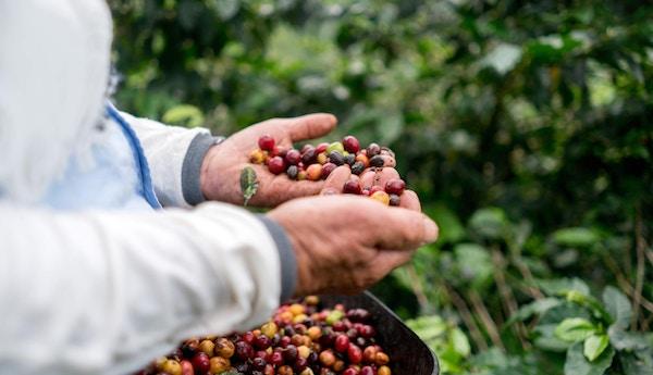 Nærbilde av hendene til en bonde som samler kaffebønner på en gård og høster avlingen
