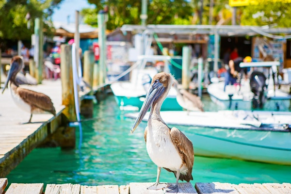 Store brune pelikaner i havnen i Islamorada, Florida Keys. Venter på fisk på Robbie's Marina