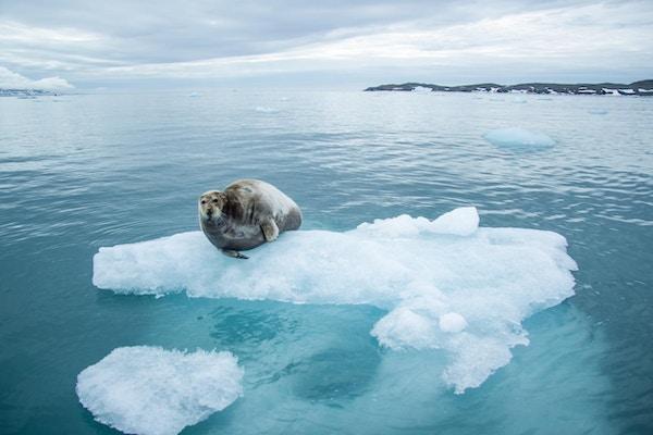 Sel på isflak.
