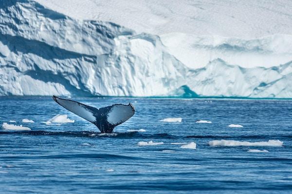 Knølhval utenfor Ilulissat, Grønland.