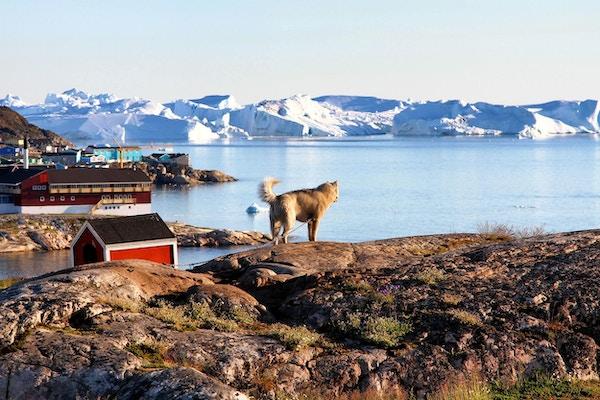 Hund i Ilulissat, Grønland.