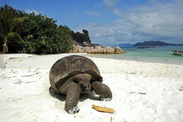 Kjempeskilpadde på stranden på Seychellene.