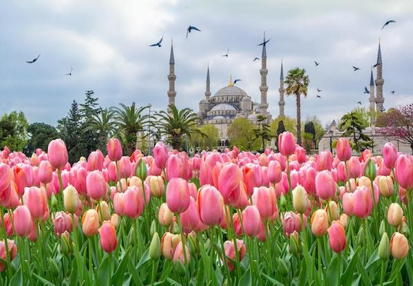 Den blå moskeen, (Sultanahmet Camii) med rosa tulipaner, Istanbul, Tyrkia