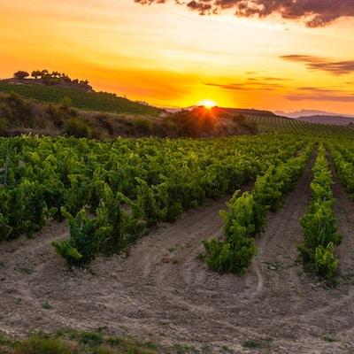 Vingård i solnedgang, La Rioja i Spania