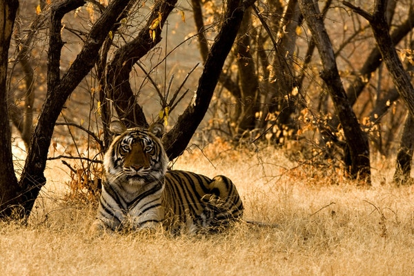 En bengaltiger som ligger i villmarken i Ranthambore Nasjonalpark i India