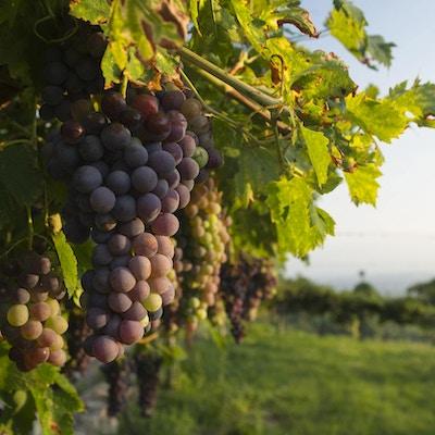 Corvina Veronese druer på en vintreet i en vingård i Valpolicella-området nord for Verona i Italia belyst av varmt sollys
