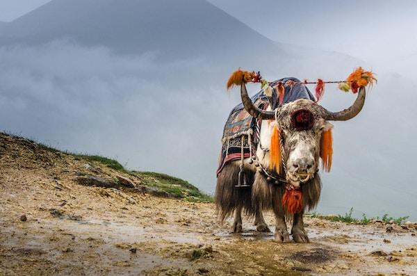 En jakokse som står i de høye fjellene i Tibet