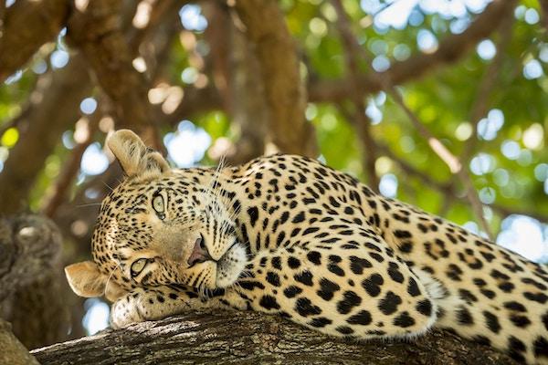 Leopard hviler i et tre.