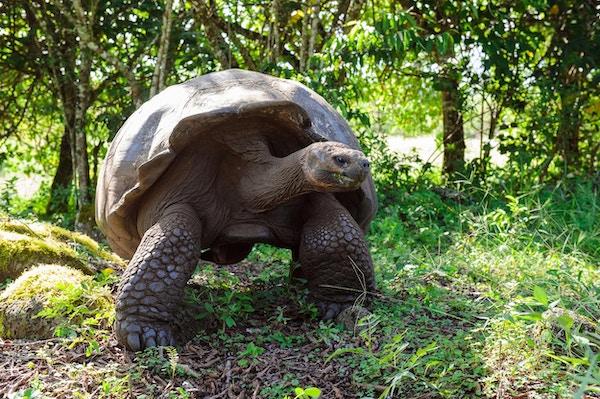 Galapagos skilpadde Geochelone nigra Galapagosøyene