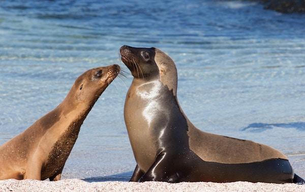To sjøløver ved Galapagos.