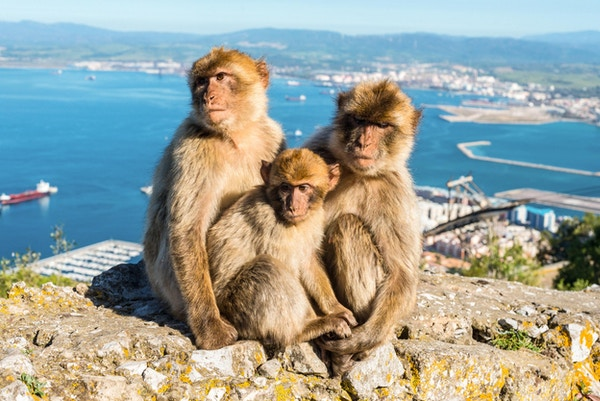Nærbilde av den berømte villfamilien Barbary Macaques som slapper av i Gibraltar Rock