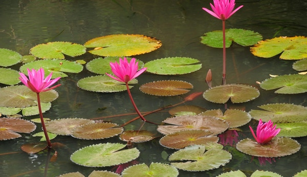 Telefoto av vannliljer i et tjern.