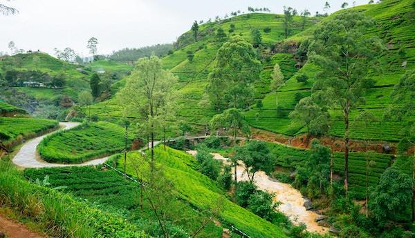 Teplantasjer i Nuwara Eliya, Sri Lanka. Panorama i høy oppløsning, tatt med Canon 5D mk III