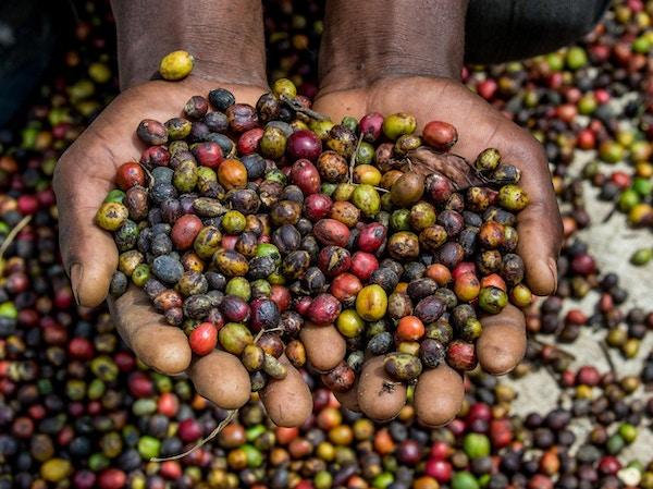 Kaffebonner uganda