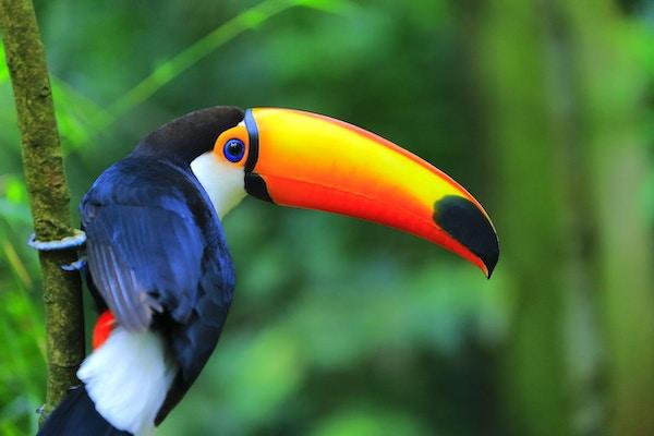Fargerik tropisk fugl i Amazonas.