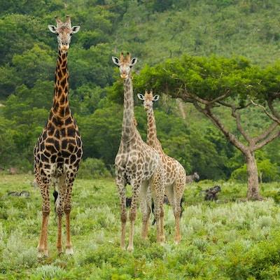 Fem sjiraffer som stod spredt rundt et akasietre ved foten av et fjell i Kruger nasjonalpark.