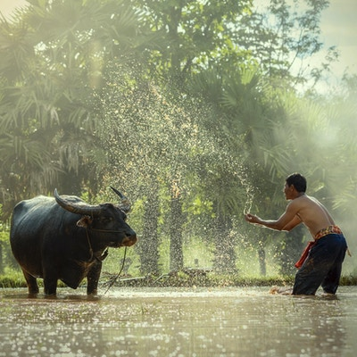 bonde.i Thailand