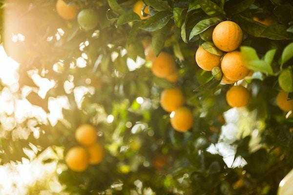 Frisk frukt vokser på frukthagelunden i California, USA