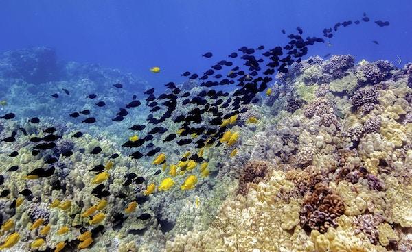 Landskap under havoverflaten på Hawaii med en stim av tropiske fisker som svømmer innover