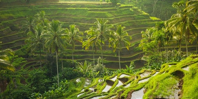 Vakre risterrasser i morgenlyset nær Tegallalang-landsbyen, Ubud, Bali, Indonesia.