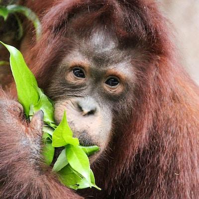 Orangutangspising