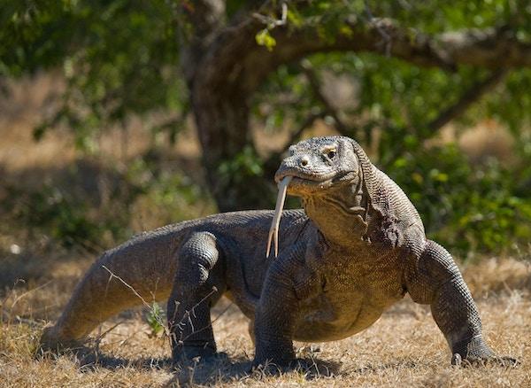 Komodo-dragen er på bakken. Indonesia. Komodo nasjonalpark. En utmerket illustrasjon.