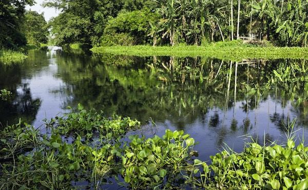 """""""Et fotografi som viser en lagune med vannhyasinter i forgrunnen og banantrær i bakgrunnen. Øya Majuli sies å være den største elveøya i verden. Den ligger midt i elven Brahmaputra, nær Jorhat i Assam, India. Øya er omlag 200 km i omkrets, men vedvarende elveerosjon er et seriøst problem. Øya huser stammer som Mishing- folket, som foretrekker å leve på bankene på øya. Dette er hovedsakelig fiskere. Majuli-øya huser også 22 Sattras (Hinduklostre) som er dedikert til den hinduistiske guden Vishnu. Majuli er preget av laguner, slik som bildet viser. Vannhyasintene er også fremtredende og tildels skadelig når den sprer seg. ris er en populær vekst. Majuli-øya er en del av verdensarven og tiltrekker seg en stri strøm av turister. Dette bildet er tatt sent på ettermiddagen. """""""