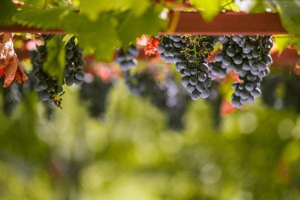 Fargerik fotografering av vakre modne blå druer hengende fra en vinranke klare til å bli plukket, med en vakker uskarp bakgrunn. Bakgrunnen er grønn og gul. Det er rikelig med rød druefrukt i vinrankene. Bildet er tatt i september før avlingene. Den konkrete vinrøde druen brukes til vinproduksjon, sunn mat, vegetarisk konsum, druegelé, druesaft, druepaier, brus med smak av drue og godteri. Frukthagen er klar for høsting. Bildets fokus er mot forgrunnen. Fruktene og plantene er perfekte for landbruksplakater og illustrasjoner. Blå drue kalles også rød drue, som rødvin er laget av. Det frodige løvet er grønt. Vegetarisk, vegansk og rå matfotografering. Grønn, brun, blå, gul og lilla farge på bildet. Fruktene er fra en stor og rik frukthage og de henger fra tregreinene.