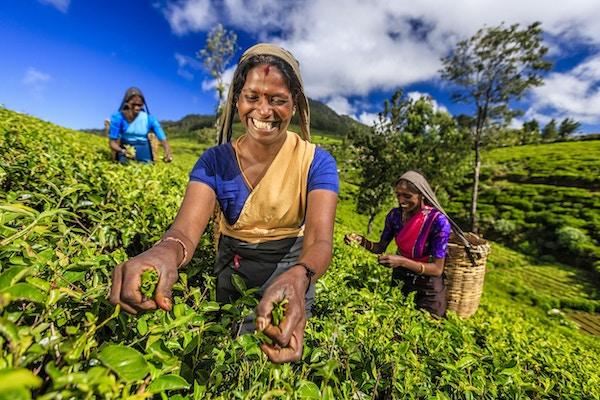 Tamilske kvinner som plukker teblad i nærheten av Nuwara Eliya, Sri Lanka (Ceylon). Sri Lanka er verdens fjerde største produsent av te, og industrien er en av landets viktigste kilder til valutakurs og en betydelig inntektskilde for arbeidere.