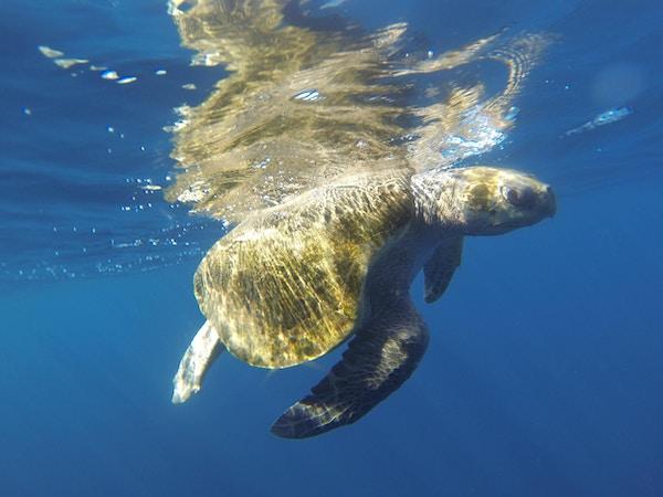 en havskilpadde under vann