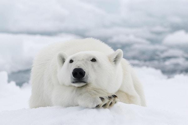 Isbjørn som hviler på snøen og ser tankefull ut.