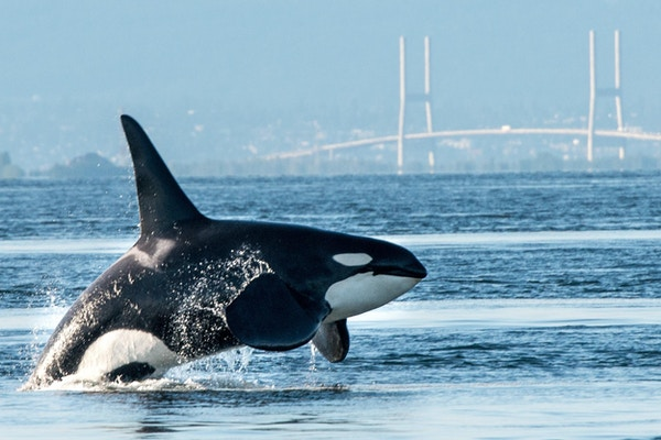 En stor mannlig orca (spekkhogger) bryter i Vancouver havn