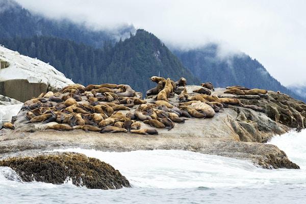 Gruppe av ville Steller sjøløver som slapper av på en stein langs den ulendte kystlinjen like nord for Sitka, Alaska.