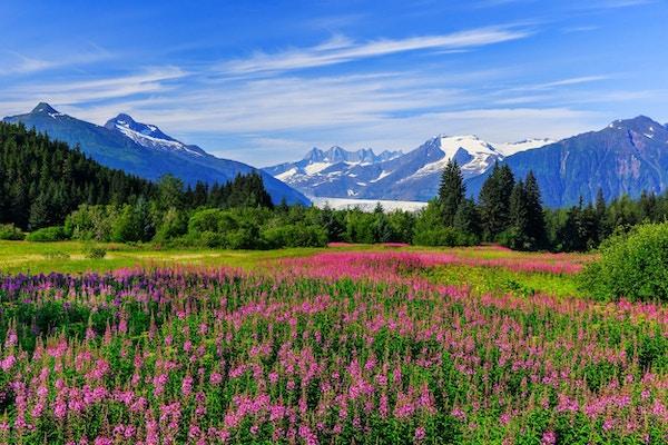 Mendenhall Glacier Viewpoint med Fireweed i blomst. Juneau, Alaska