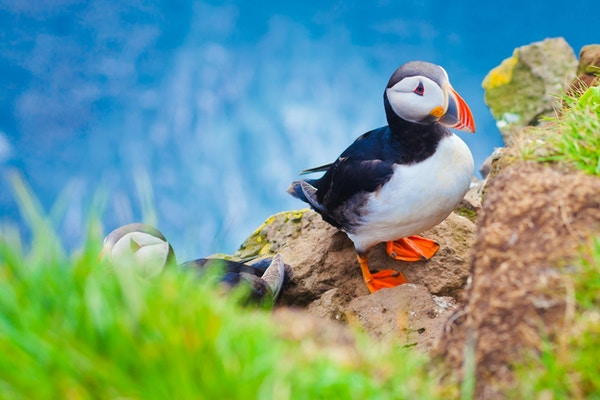 Nydelig, levende bilde av atlantiske lundefugler på klippene i Latrabjarg - den vestlige delen av Europa og Europas største fuglefjell, Island