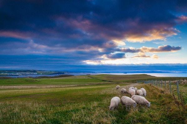 Sauser på landsbygda i Storbritannia