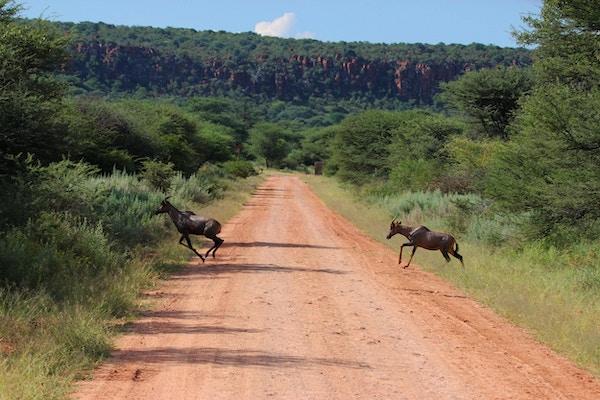 Et par Topi (Damaliscus lunatus) løper over veien ved Waterberg Plateau National Park i Namibia.