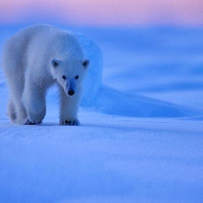 Isbjørner på vandring i den kalde vinteren