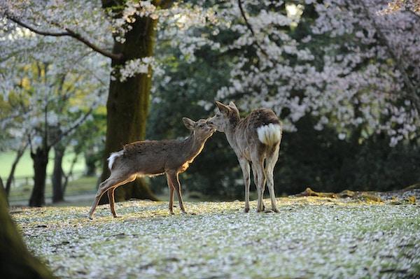 To ville asiatiske hjort under Japans kirsebærblomstring sesong.