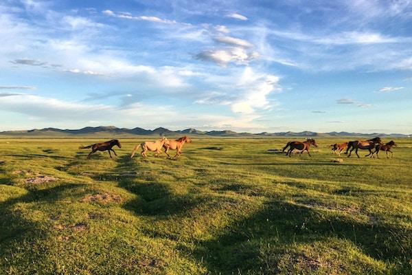 Vilde hester løper ved solnedgang i Hustai nasjonalpark i sentrale Mongolia om sommeren