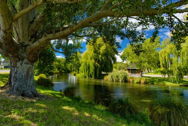 Piletrær ved Avon River i Christchurch, New Zealand